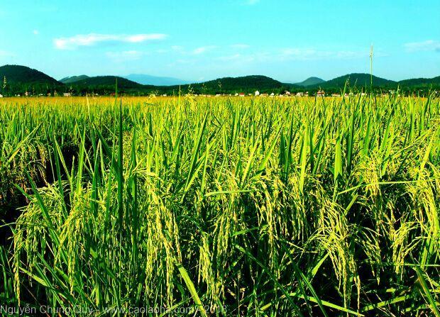 Hình ảnh quê hương trước mùa gặt