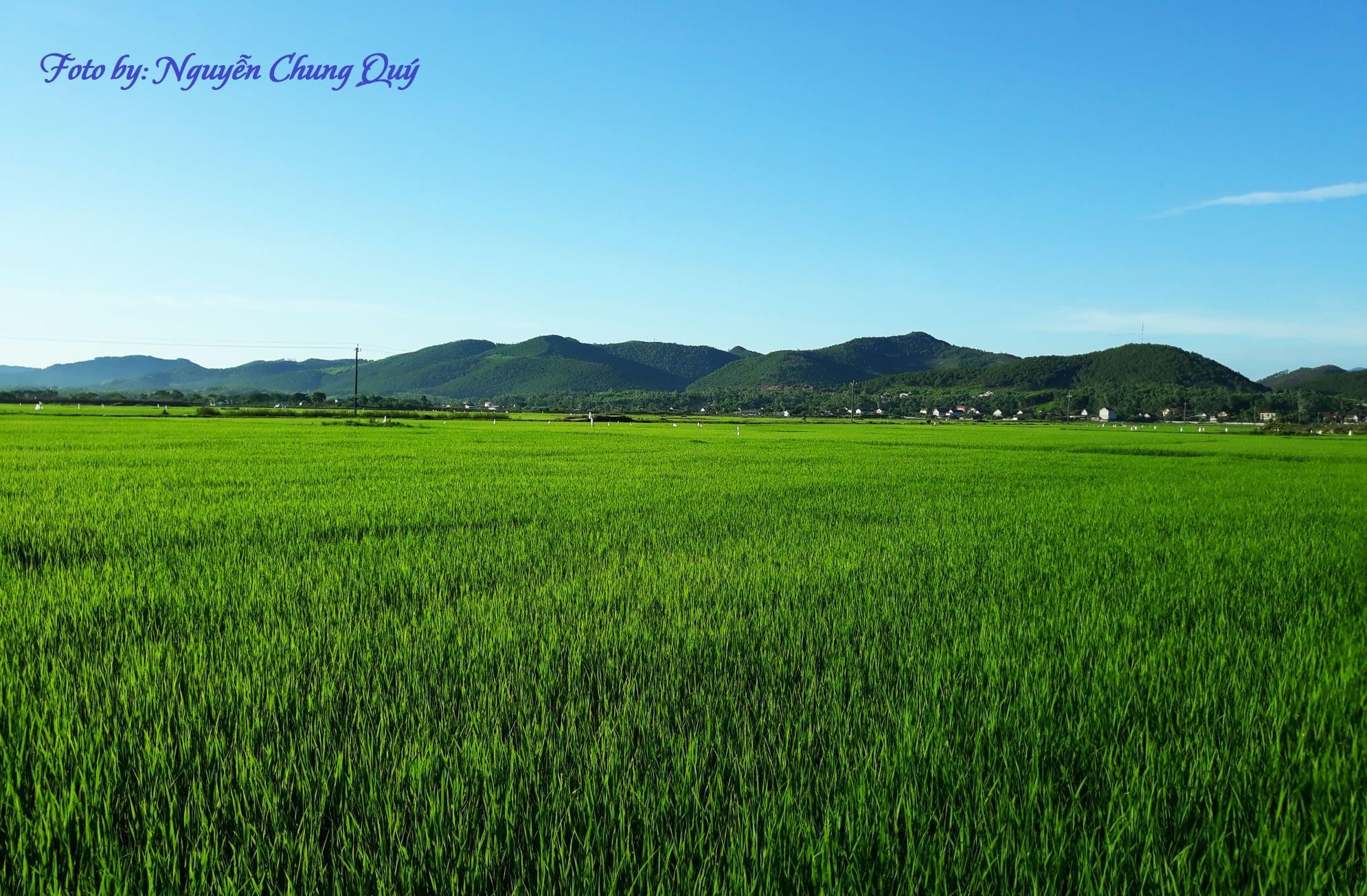 Cây lúa trên đồng đất Hạ Trạch